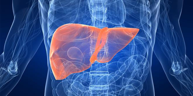 The liver's place in your digestive system